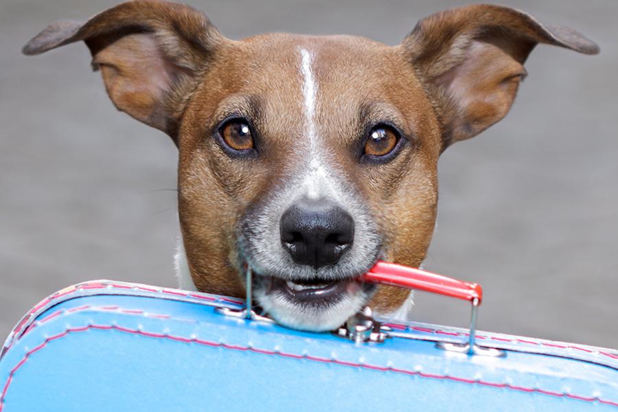 perro pequeño llevando una maleta pequeña por la manija en la boca